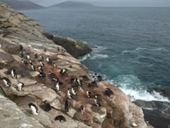 King cormorant colony at the rookery