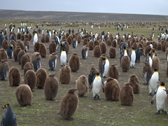 Volunteer Point has the largest colony (1000 breeding pairs) of king penguins in the Falkland Islands