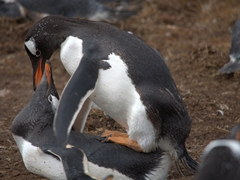 Gentoo penguin sexy time