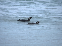 Two magellanic penguins swimming in the sea