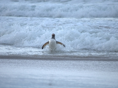 A gentoo penguin pops out of a wave