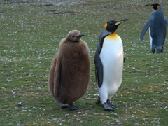Juvenile king penguin in lock step with its parent