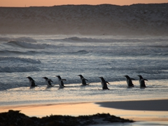 Gentoo penguins rush fearlessly into the sea at sunrise