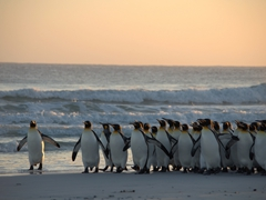 King penguins debating whether to enter the sea or not