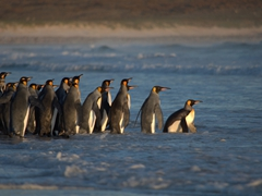 After waffling for nearly 30 minutes, the king penguins take the plunge