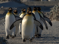 King penguins marching to the sea
