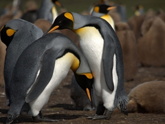 King penguins' display of affection