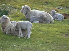 Sheep resting in the green grass