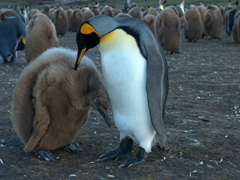 King penguin showing its baby some affection