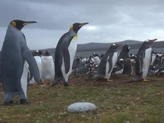 Two king penguins trying to infiltrate the gentoo penguin colony