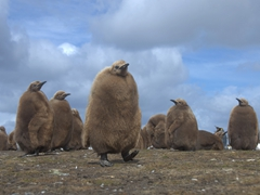 We loved our daily interaction with the juvenile king penguins!