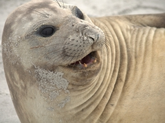 Elephant seal cows are much smaller than their male counterparts at only 2000 lbs and 10 ft long
