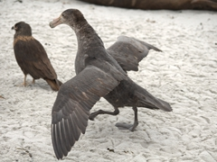 A southern giant petrel tries to scare off a caracara from an elephant seal carcass