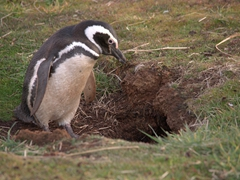 Magellanic penguin about to enter its burrow