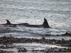 Orcas patrolling the sea just off Sea Lion Island