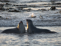 Meanwhile, blissfully unaware they are being hunted, two elephant seal pups play in the sea