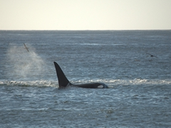 The kill is over in seconds...we are astonished to have witnessed an orca hunting an elephant seal!