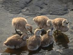 Falkland steamer ducklings
