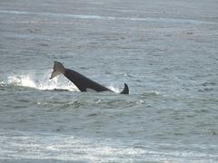 A juvenile orca diving