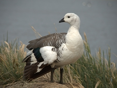Male upland goose