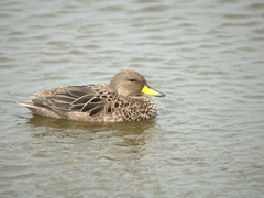 Yellow billed teal