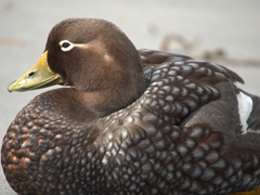 Female Falkland steamer duck, a flightless bird endemic to the Falkland Islands