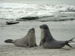 Early morning play time as the elephant seal pups are most active just after sunrise