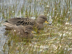 Yellow billed teal and duckling