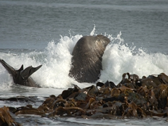 Bull elephant seal in the surf