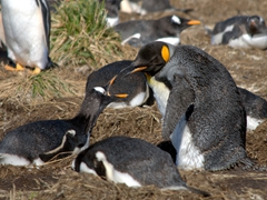 A lone king penguin fights with its gentoo neighbor