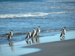 Magellanic penguins returning to Sea Lion Island