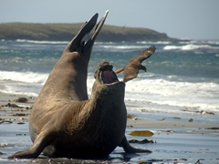 An angry elephant seal chases off a curious caracara that was picking at its wounds