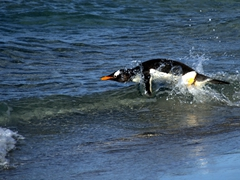 A gentoo penguin eager to get to sea