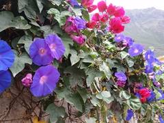 Flowers on our walk to the train station; Ollantaytambo
