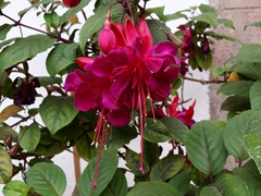 Hot pink fuchsia at the regional historical Cusco museum