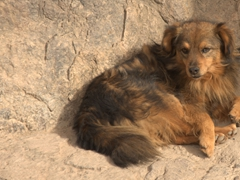 Street dog; Ollantaytambo