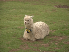 Tourist shops in Cusco use cute llamas to lure tourists in