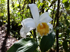 Orchid in bloom; Arenal lava trail