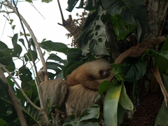 Baby sloth snuggled up to its mother; roadside on our drive from San Jose to La Fortuna