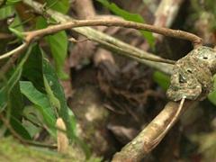 An eyelash viper, a venomous pit viper curled up on a branch; Mistico Park