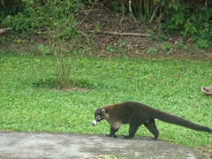 A coati strolls past us; Mistico Hanging Bridge Park
