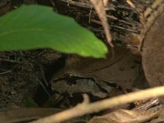 Savage's bullfrog