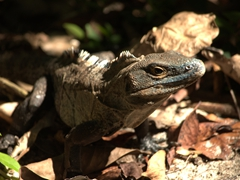 Iguana sunning itself at Manuel Antonio National Park