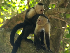 White-faced capuchin monkeys getting it on