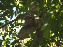 We were lucky with multiple sightings of two and three toed sloths at Manuel Antonio National Park
