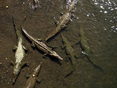 Massive crocodiles sunning themselves in the Tárcoles River