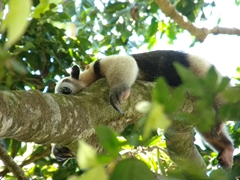 Collared anteater snoozing in a tree