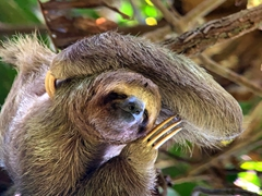 Three-toed sloth (the slowest mammal on earth) enjoying a good scratch; Manuel Antonio National Park