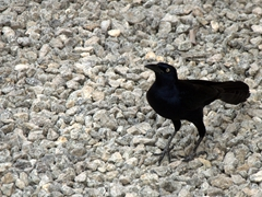 Panama blackbird