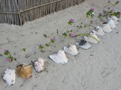 Conch shells recycled for a garden; Ina Island